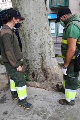 L'Ajuntament de la Seu d'Urgell aplica l'endoteràpia vegetal en arbres de diversos carrers de la ciutat