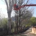L'Ajuntament de la Seu d'Urgell retira pollancres de l'escola Albert Vives, inclòs el més gran de tots, per posar en perill la seguretat dels infants
